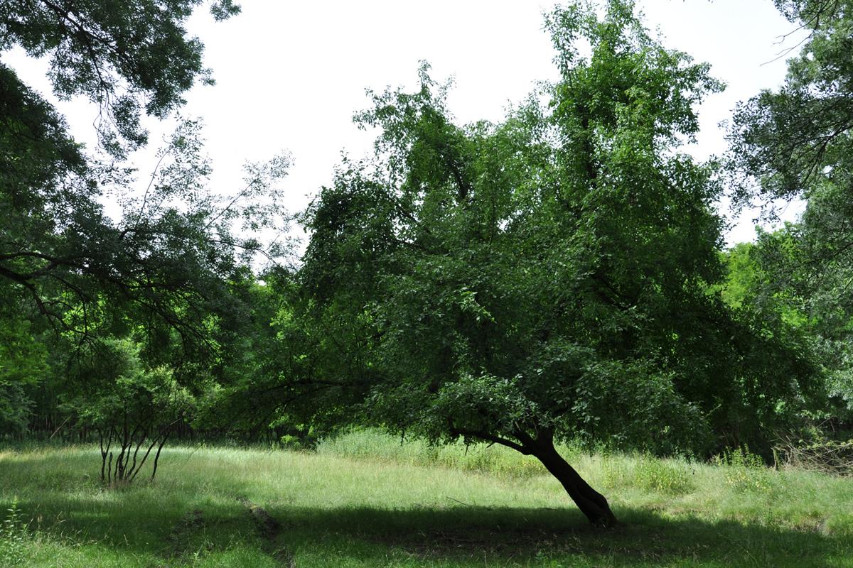 Év fája 2017 - vadalma